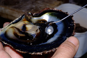 oyster producing pearl