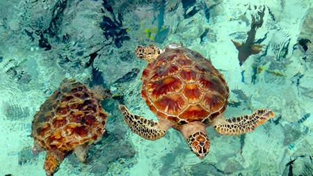 Bora Bora tutles