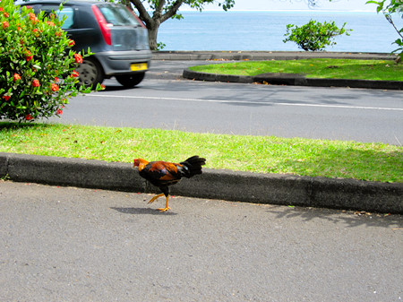 Tahitian rooster