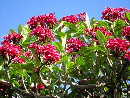 Tahitian frangipanni flower