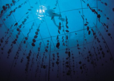 hanging pearl oysters