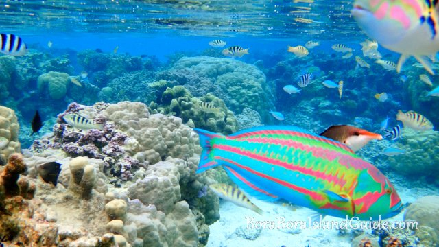 Colorful fish snorkeling Bora Bora
