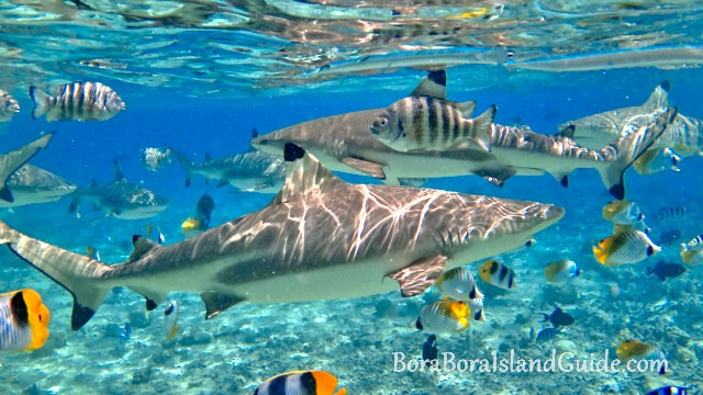 Best things to do in bora bora vacation activities excursions 4 meet the sharks voltagebd Gallery