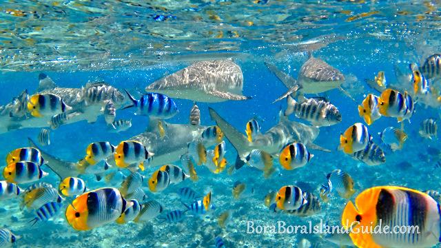 Bora bora snorkeling excursions for Bora bora fish